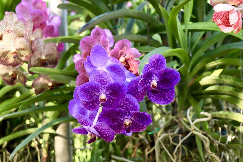 Fermă de orhidee și de fluturi din Chiang Mai