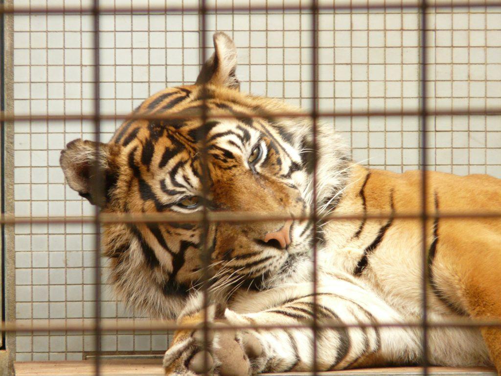 Tigru în cușcă